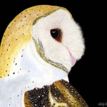 Barn Owl on Scratchboard